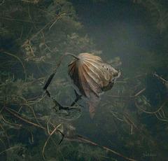 Les restes nécrosés d'une feuille de lotus...