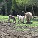 Vaches Shetland
