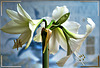 Amaryllis. On New Year's Day, in the color white... ©UdoSm