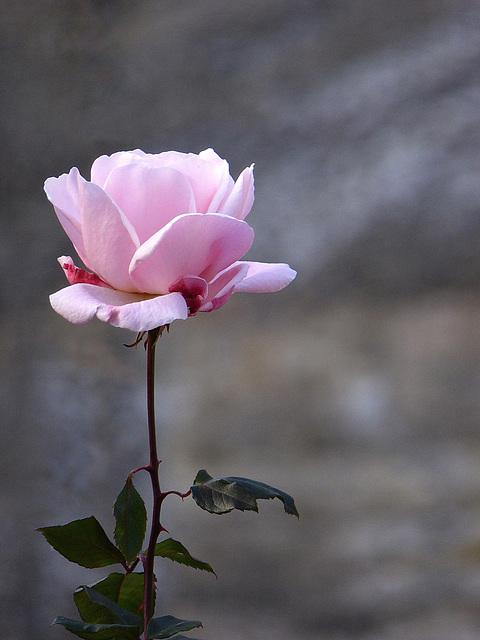 una rosa d'inverno