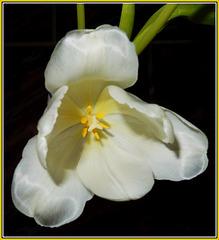Tulip.....