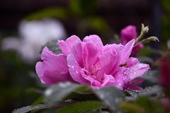 Rose de pluie