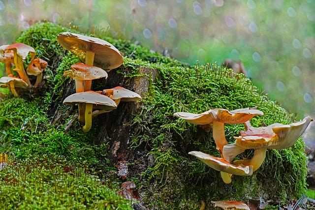 Die Zeit der Pilze beginnt - The mushroom season begins