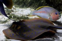 Pastenague a points bleus  et poisson perroquet en arrière plan