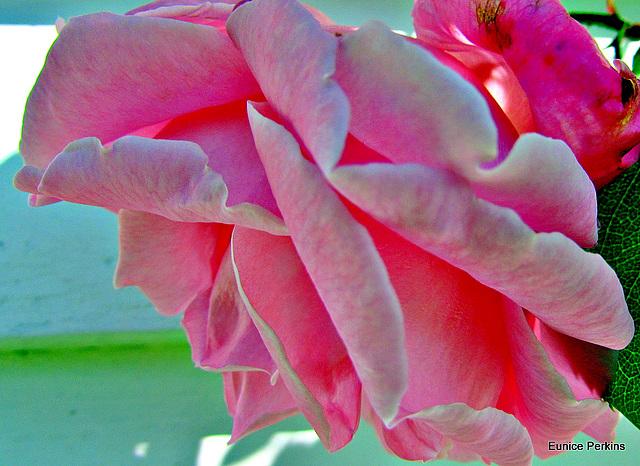 Petals of Pink.