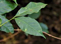 Arabica leaves