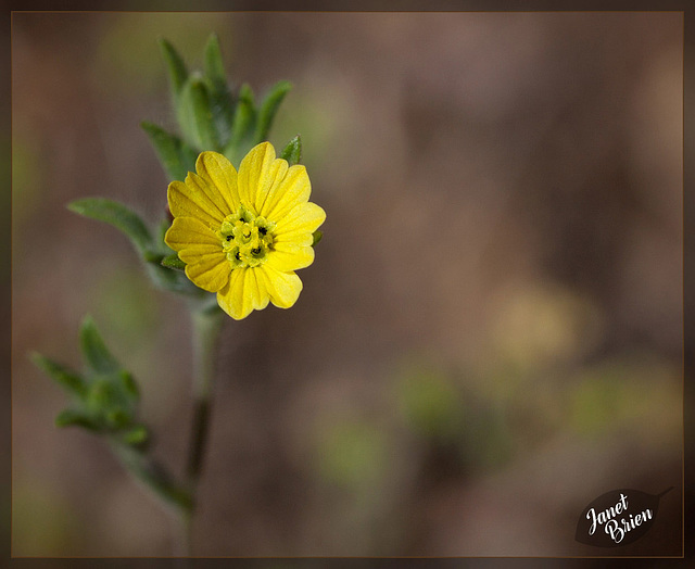 321/366: Lemon-Scented Tarweed: the 161st Flower of Spring & Summer
