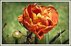 L'amour est une pure rosée qui descend du ciel dans notre cœur, quand il plaît à Dieu.