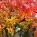 Ornamental Pear trees in November