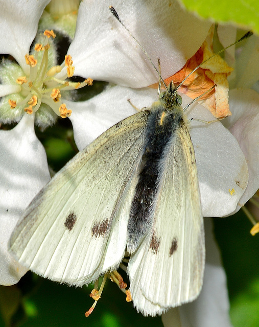 Small White. Pieris napi