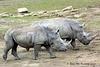 White Rhinoceros  213 copy