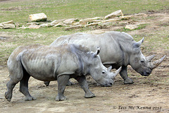 White Rhinoceros  213 copy