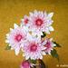 Dahlias impressionistic 052516-001