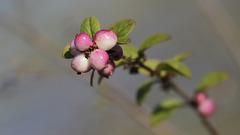 Perles horticoles