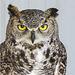 Great Horned Owl - rehab