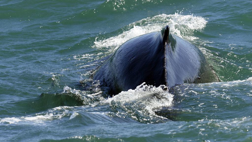 Humpback whale, Skjálfandi  DSC3388