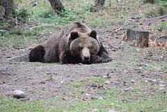 88/365 - Den Sonntag auf der Bärenhaut liegen...