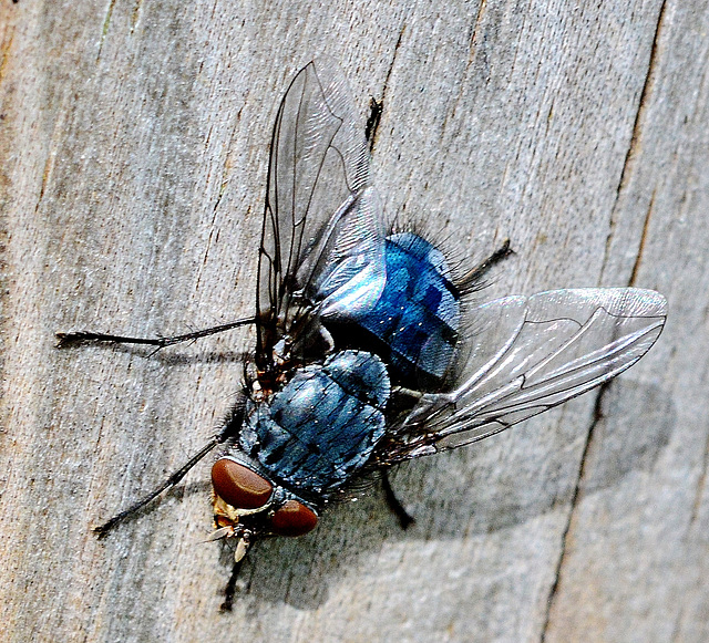 Bluebottle, Blow Fly. Calliphora vomitoria