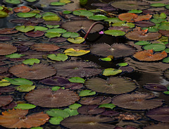 AT THE LILY POND