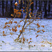 Snow  thistle