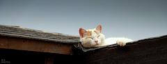 Une  chatte  blanche.... sur un toit brûlant noir... vous avez dit..CHALEUR...!