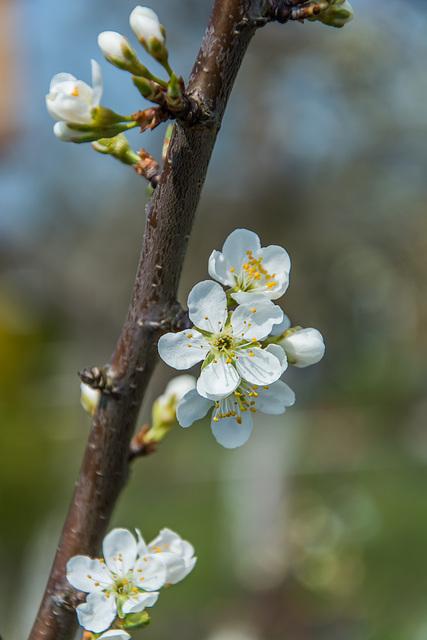 (113/365) Kirschblütenzweig