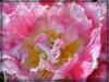 Bon Jeudi de l'ascension à tous ! Tulipe