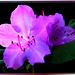Rhododendron-1... ©UdoSm