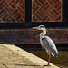 Heron by the boat house