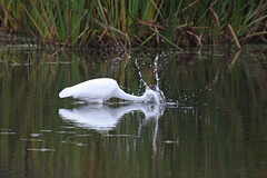 48/50 grande aigrette-great egret