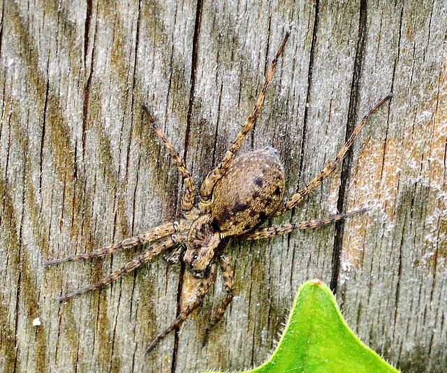 Spider.....Cobweb/Funnel weaver???