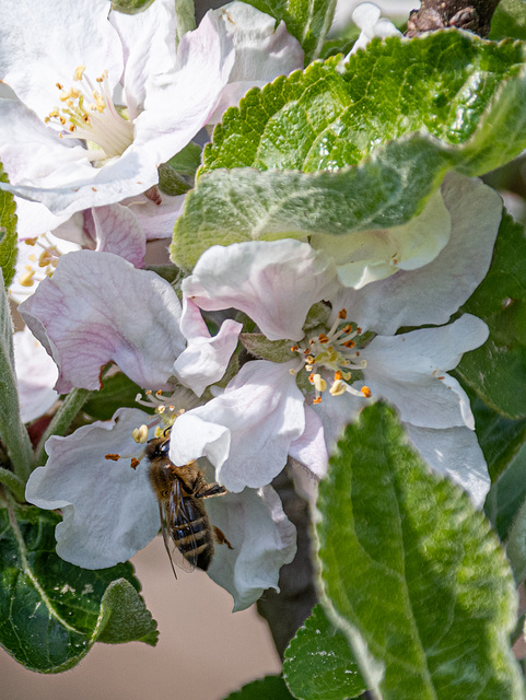 Apfelblütenbestäubungsbeauftragte beim Apfelblütenbestäuben und Apfelblütennektar abpumpen ;-)