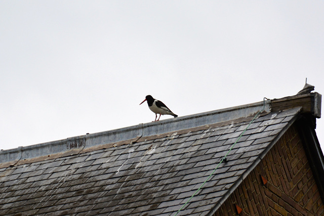Oystercatcher on a roof