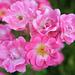 Les roses du château d'Apremont