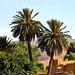 Palmiers a Taghit au sud Algerien.