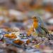 Robin / Roodborst (Erithacus rubecula)