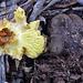 Phylloporus species