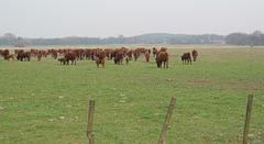 wilde Herde