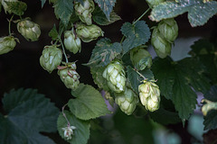 20150910 8802VRTw [D~LIP] Hopfen (Humulus lupulus), UWZ, Bad Salzuflen