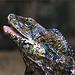 A frilled-necked lizard portrait