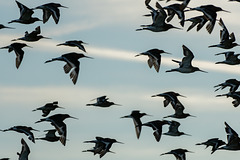 Flock of Godwits