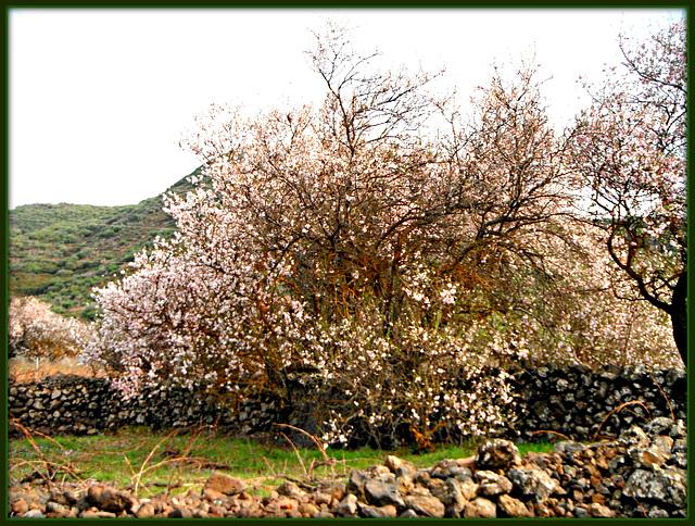die Mandelbäume blühen