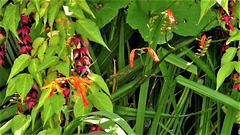 The honeysuckle and the mombretia