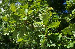 Oak leaves and acorn at Parc du Thabor