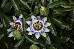 20150910 8803VRTw [D~LIP] Blaue Passionsblume (Passiflora caerulea), UWZ, Bad Salzuflen