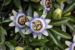 20150910 8804VRTw [D~LIP] Blaue Passionsblume (Passiflora caerulea), UWZ, Bad Salzuflen