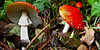 Fly Agaric - Good to look at, but not to eat!
