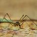 Wiesenschnaake/Sumpfschnaake (Tipula paludosa)