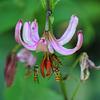 Schwebfliegen-Invasion an einer Blüte des Türkenbunds - Hoverfly Invasion on a Turk's cap lily