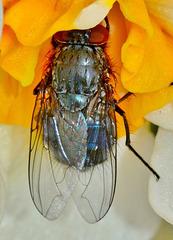 Bluebottle, Blow Fly. Calliphora vomitoria